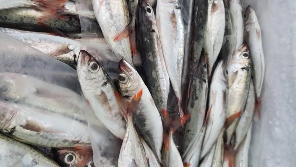 Cá Nục Đỏ Đuôi Tươi   Cá Nục đỏ đuôi biển đánh bắt tự nhiên ...
